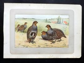 Mahler 1907 Antique Bird Print. La Perdrix Grise. Grey Partridge